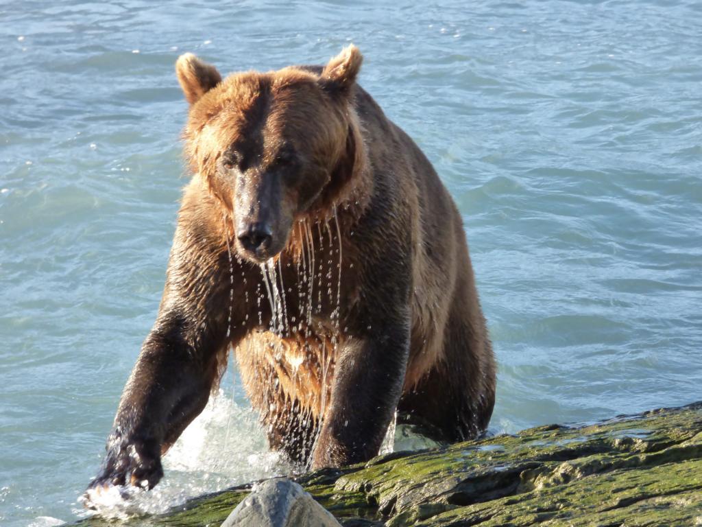 Brown Bear fishing salmon