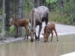 Moose with calves Alaska