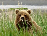 Bear Viewing Alaska