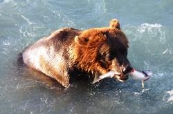 Bears fishing salmon