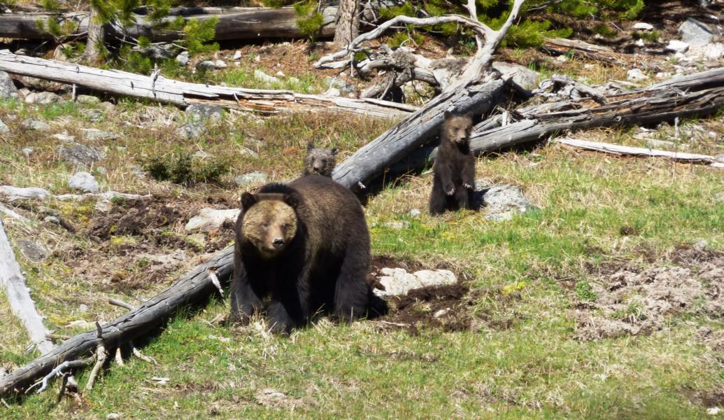 Grizzly Bear Yellowstone